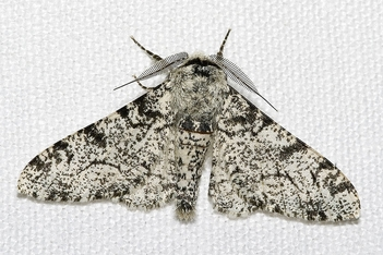 Gray Peppered Moth (Biston betularia)