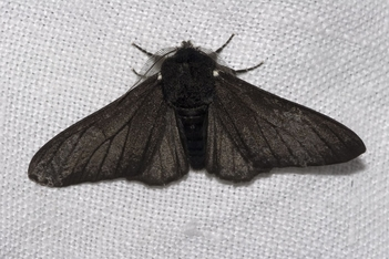 Black Peppered Moth (Biston betularia)